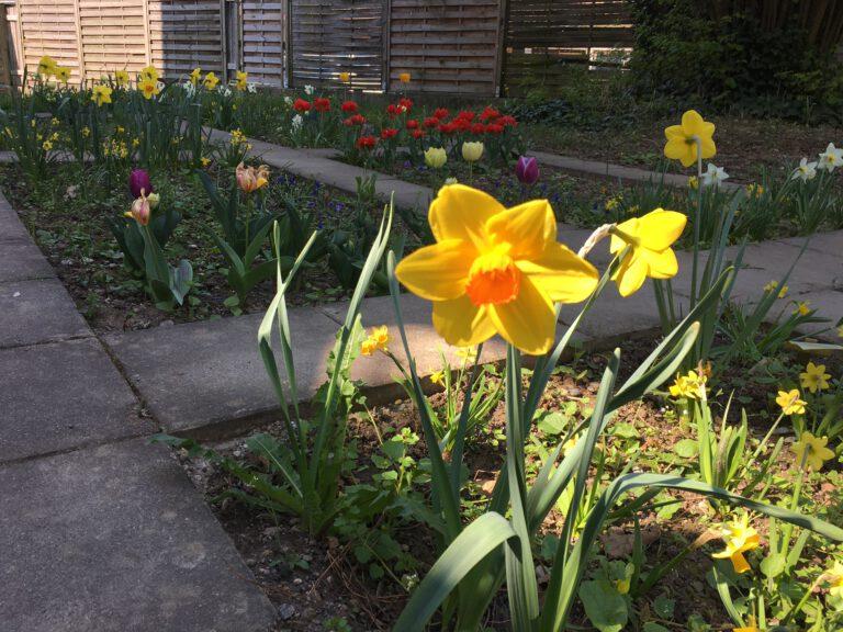 dekoratives Bild: Blumenfeld mit gelben Osterglocken, Narzissen und roten Tulpen